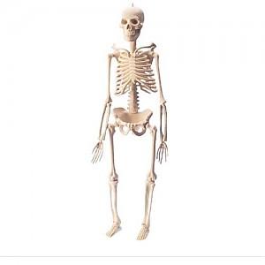 인체골격모형(소)